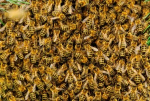 bees2-617x416