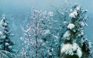 fir winter